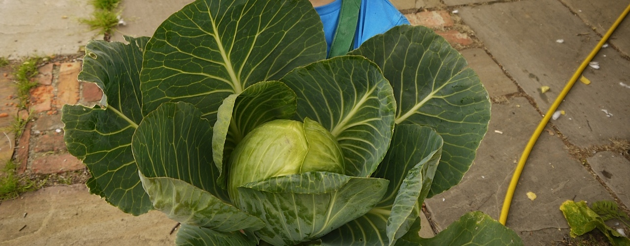 large-cabbage